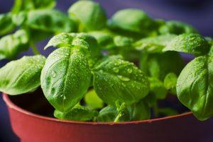 Basilic frais mouillé en pot