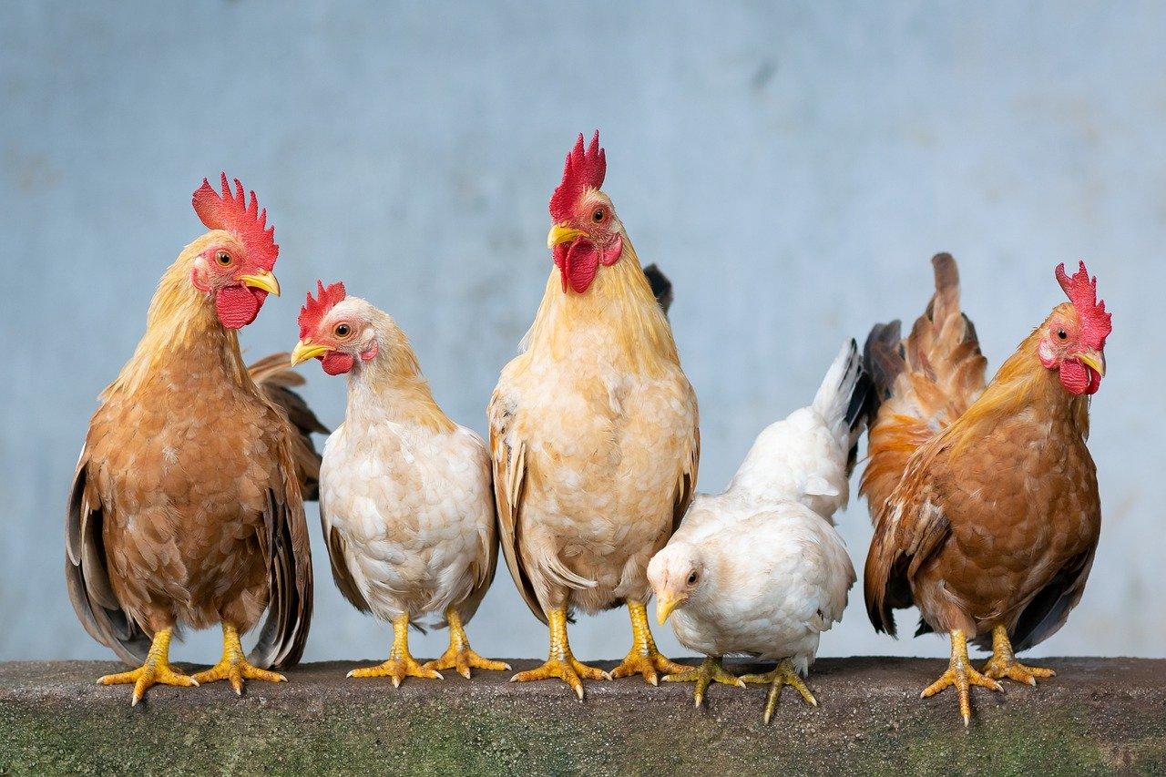 Cinq poules rousses et blanches sur un mur