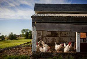 Plusieurs poules blanches dans un poulailler