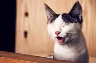 Chat blanc et tigré souriant