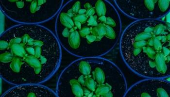 Comment Prendre Soin d'un Basilic en Pot ?
